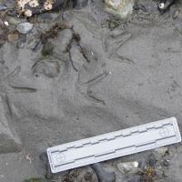 Whimbrel Tracks (Numenius phaeopus)