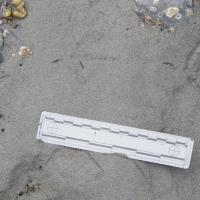 Whimbrel Tracks (Numenius phaeopus)