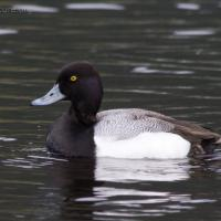 Scaup (Aythya sp)