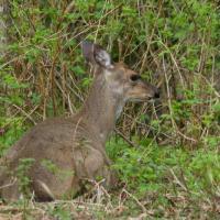 Sitka Blacktailed Deer (Odocoileus hemionus sitkensis)