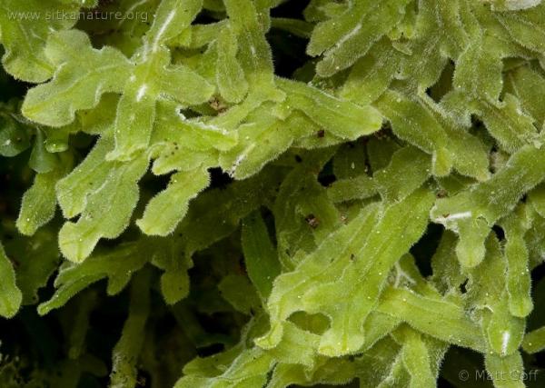 Apometzgeria pubescens