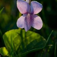 Marsh Violet (VIola epipsila)