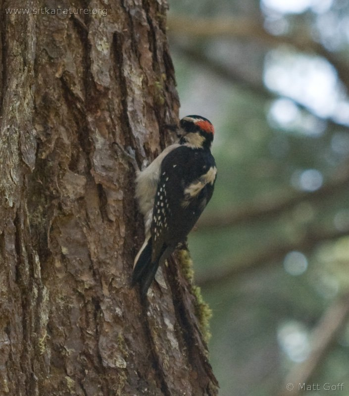Hair Woodpecker (Picoides villosus)