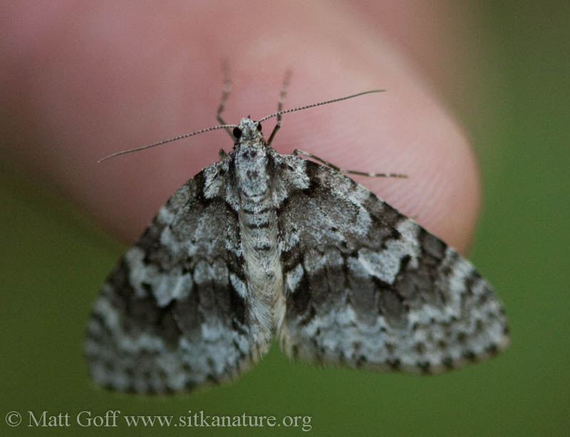 Mottled Gray Carpet (<em>Cladara limitaria</em>)