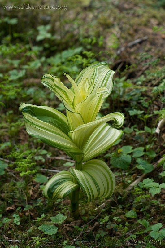 Corn Lily (Veratrum viride)