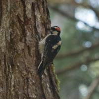 Hair Woodpecker (Picoides villosus)
