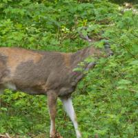 Sitka Black-tailed Deer (Odocoileus hemionus sitkensis)