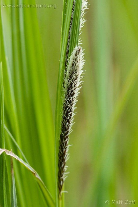Sitka Sedge (Carex aquatilis dives)