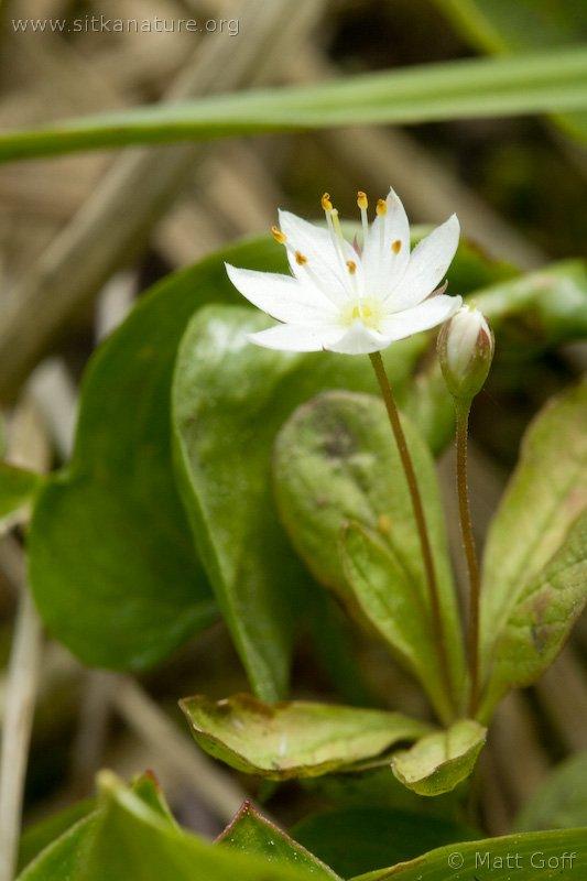 Northern Starflower (Trientalis arctica)