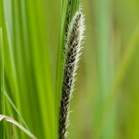 Sitka Sedge (Carex aquatilis dives)