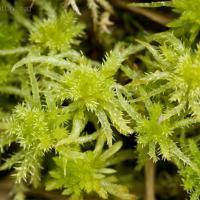 Sphagnum squarrosum