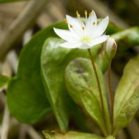 Northern Starflower (Trientalis arctica)