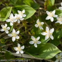Three-leaf Goldthread (Coptis trifolia)