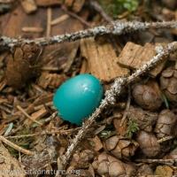 Thrush Eggshell