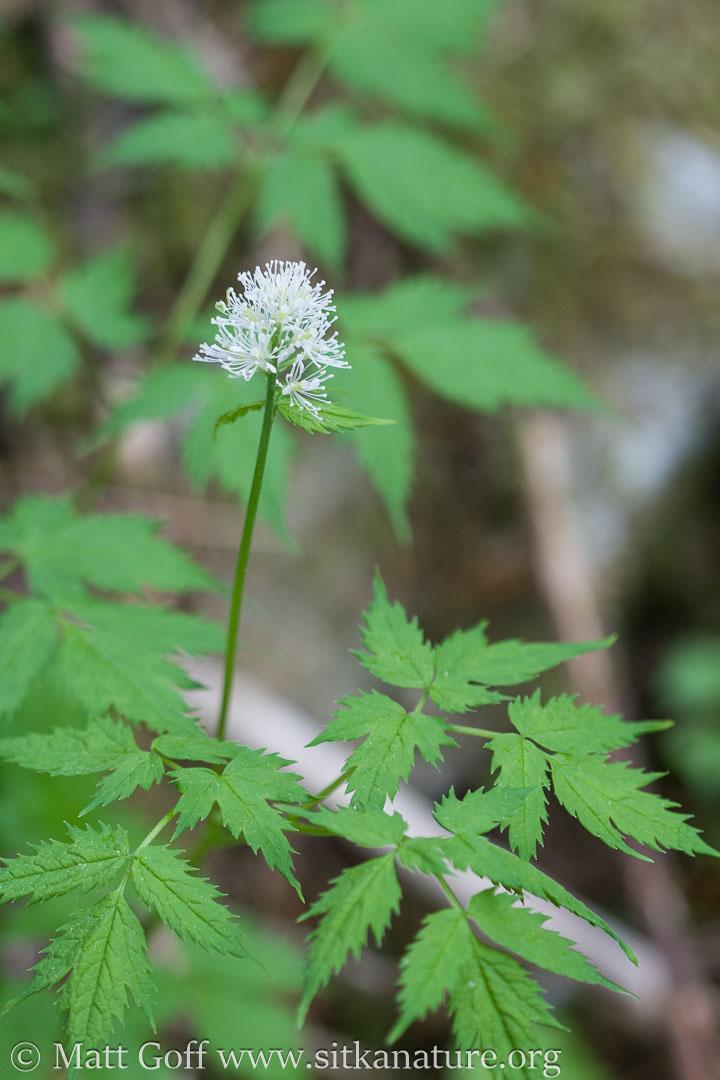 Baneberry (Actaea rubra)