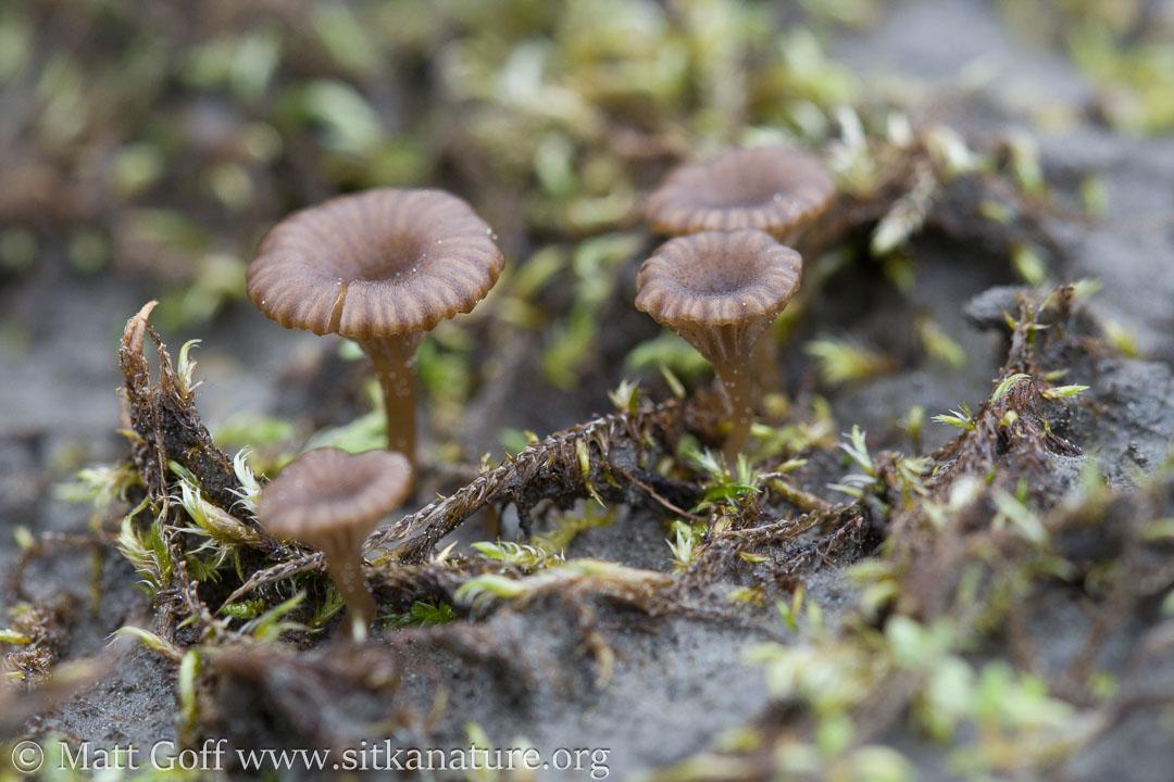 Brown Mushrooms