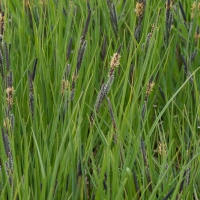 Lakeshore Sedge (Carex lenticularis)