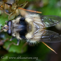 Hover Fly (Criorhina sp)