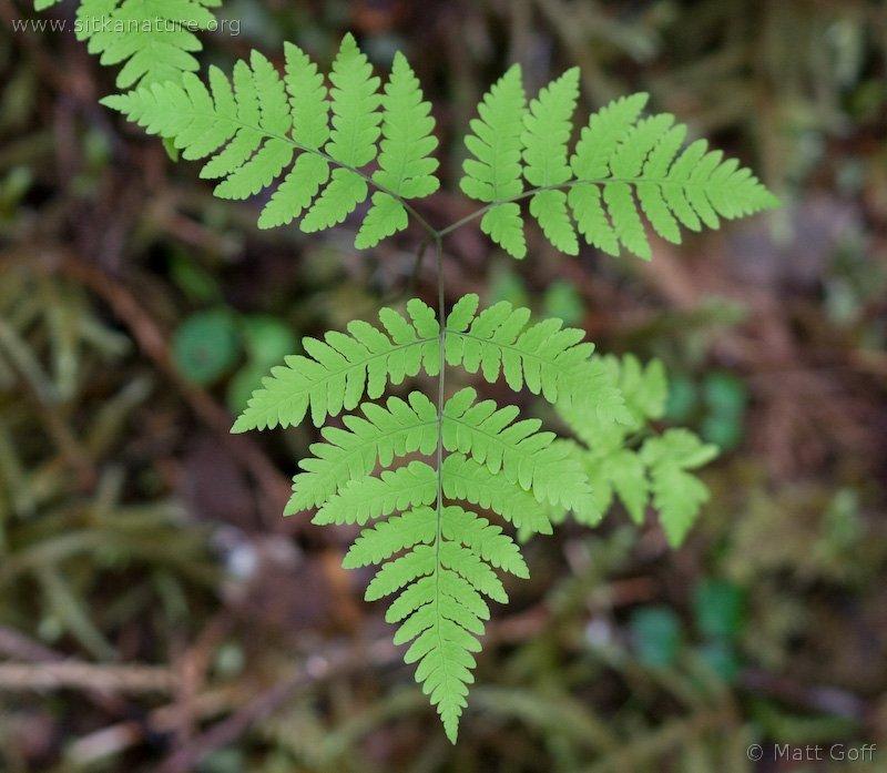 Western Oakfern (Gymnocarpium dryopteris)
