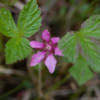 Nagoonberry (Rubus arcticus)