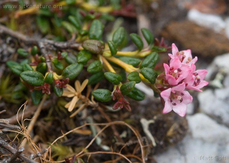 Alpine Azalea (Loiseleuria procumbens)
