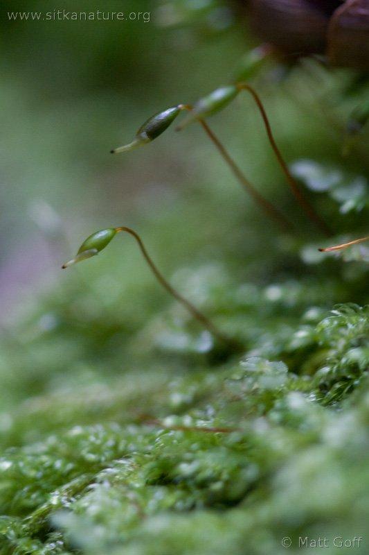 Small Flat Moss (Pseudotaxiphyllum elegans)