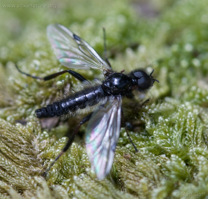Male March Fly (Bibionidae)