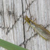 Stone-fly (Sweltsa sp)