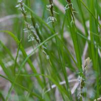 Yellow-flowered Sedge (Carex anthoxanthea)
