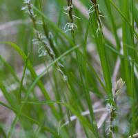 Yellow-flowered Sedge (Carex anthoxanthea)