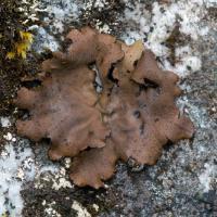 Umbillicaria hyperborea