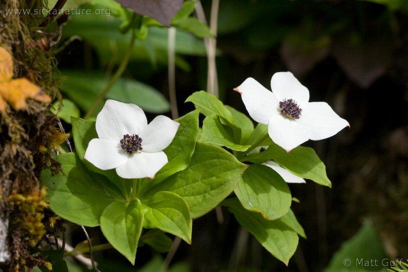 Western Cordilleran Bunchberry (Cornus unalaschkensis)