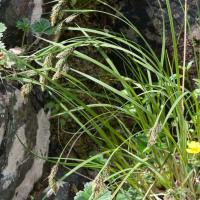 Gmelin's Sedge (Carex gmelinii)