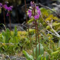 Dark-throated Shooting-star (Dodecatheon pulchellum)