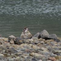 Common Merganser (Mergus merganser) with Young