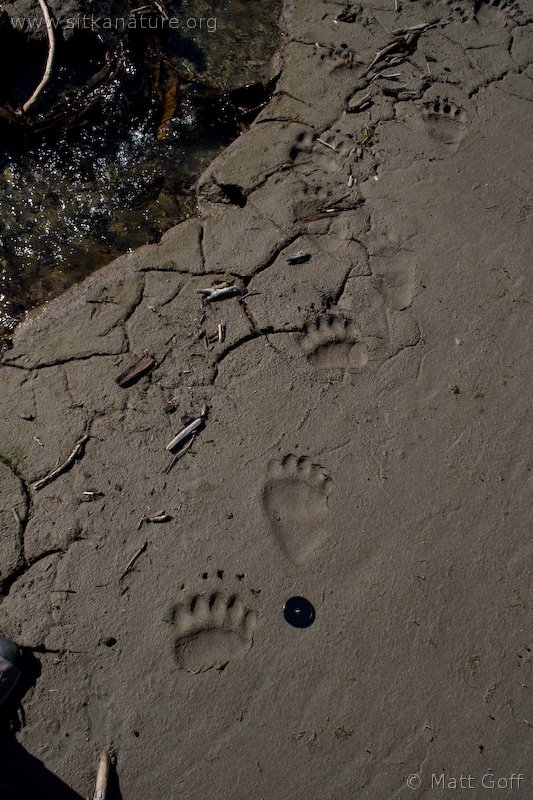 Brown Bear (Ursus arctos) Tracks
