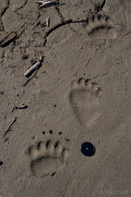 Brown Bear (Ursus arctos) Tracks