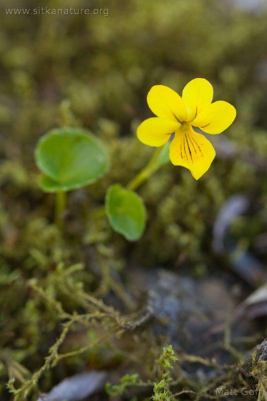 Arctic Yellow Violet  (Viola biflora)