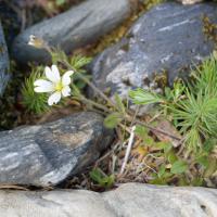 Field Chickweed  (Cerastium arvense)
