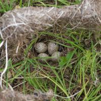 Spotted Sandpiper Nest