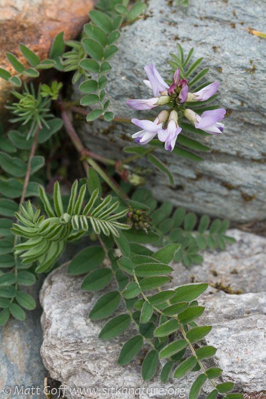 Alpine Milk-vetch (Astragalus alpinus)