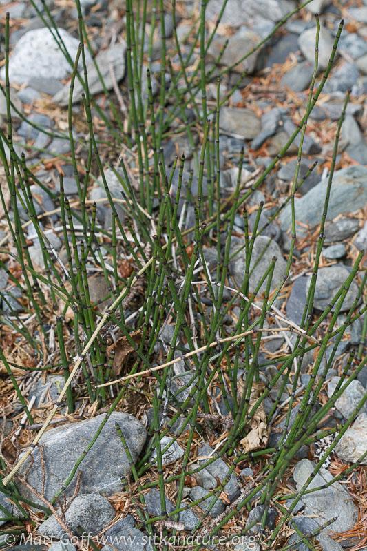 Variegated Scouring-rush (Equisetum variegatum)