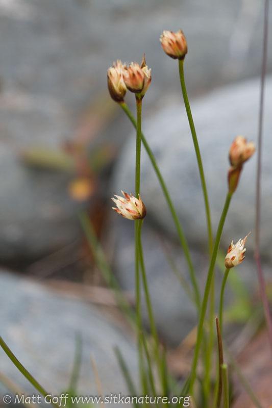 Three-flowered Rush (Juncus triglumis)