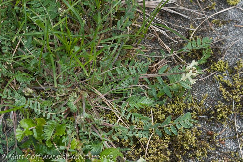 Field Locoweed (Oxytropis campestris)