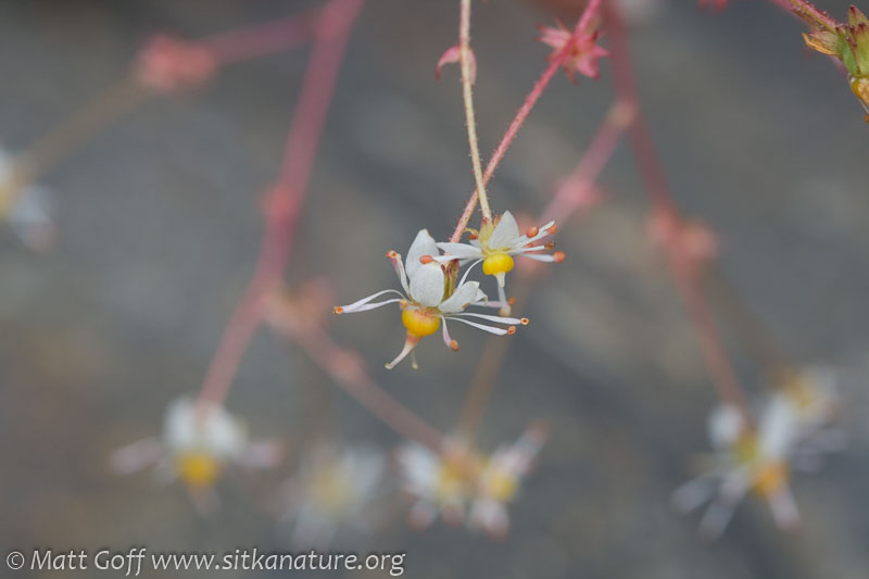 Wood Saxifrage (Saxifraga mertensiana)