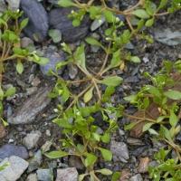 Sand-spurry (Spergularia canadensis)