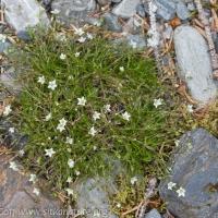 Reddish Sandwort (Minuartia rubella)