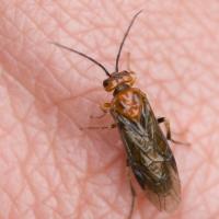 Sawfly (Tenthredinidae)