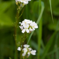 Hairy Rockcress (Arabis hirsuta)