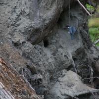Belted Kingfisher visiting Nest